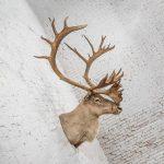 Vintage Caribou Shoulder Taxidermy Mount 1969